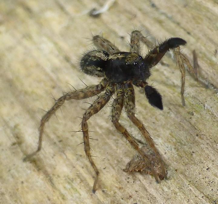 Pardosa amentata Copyright: Annie Smith
