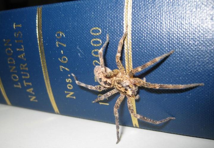 Zoropsis spinimana id John Tweddle NHM Copyright: John Jackson