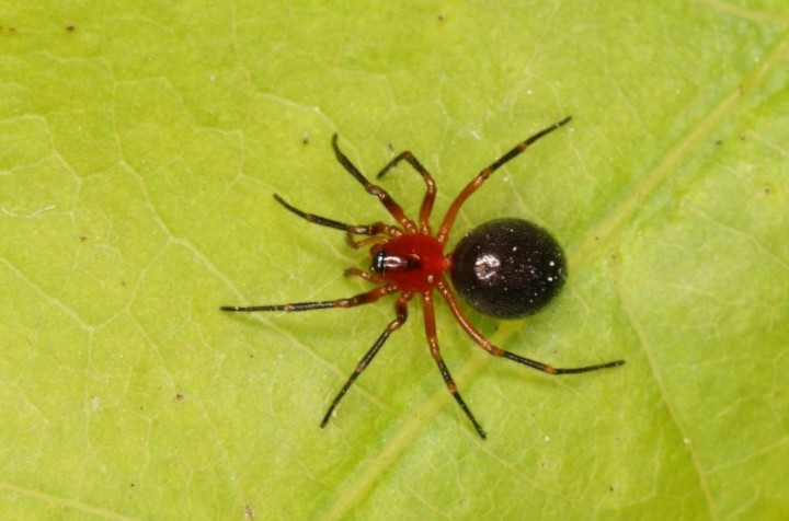 Trematocephalus cristatus female Copyright: Peter Harvey