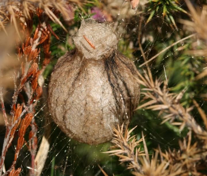 Argiope bruennichi cocoon Copyright: Ian Cross