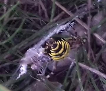 Argiope bruennichi female 20210825 Copyright: John Ponting