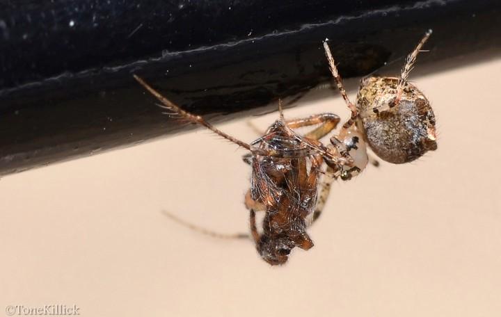 Ero aphana with Theridion sp. prey Copyright: Tone Killick