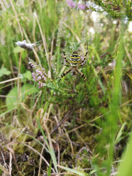 Wasp Spider 31.08.20 Copyright: Kevan Crack