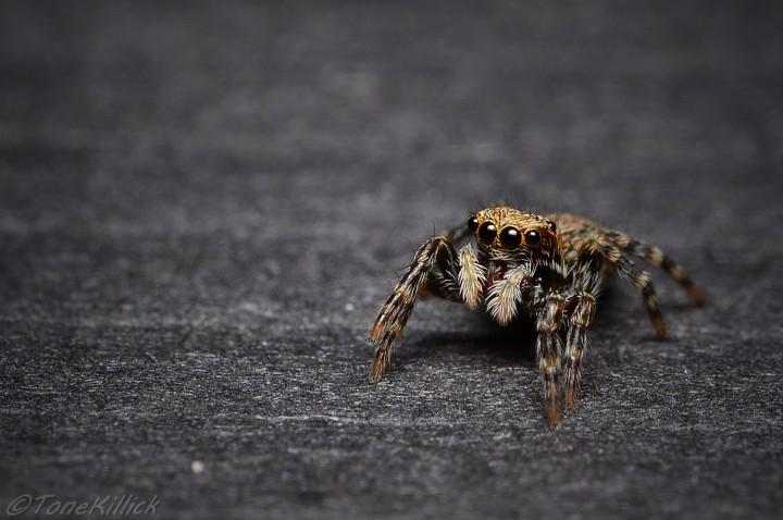 Female P.lanigera 1 Copyright: Tone Killick