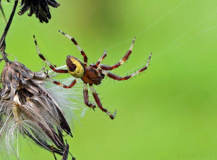 Araneus marmoreus var. pyramidatus - male Copyright: John Clark