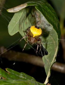 Araneus marmoreus female in retreat head high in Oak sapling Copyright: Evan Jones
