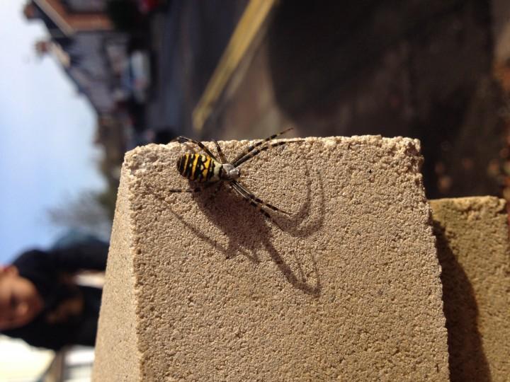 Wasp spider sighting 12.10.13 ashford kent Copyright: Sebrina Carter