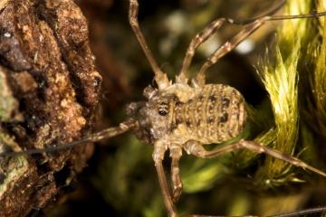 Oligolophus tridens Copyright: Paul Richards