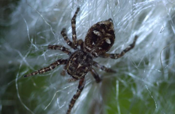 Sitticus floricola Copyright: Peter Harvey