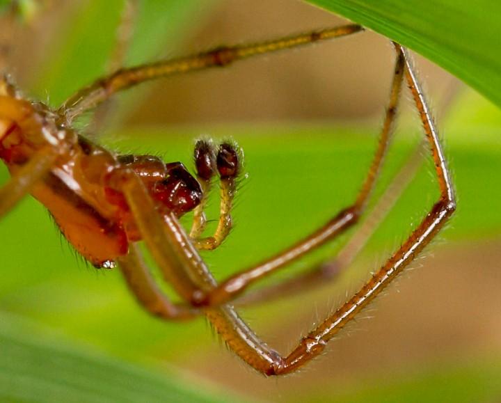 Enoplognatha mordax male palps Copyright: Evan Jones
