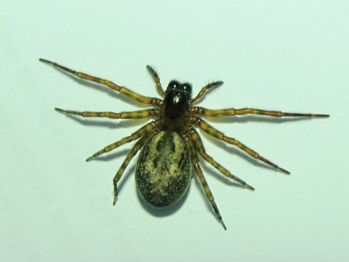 Amaurobius Similis found in house Copyright: Alasdair Kane