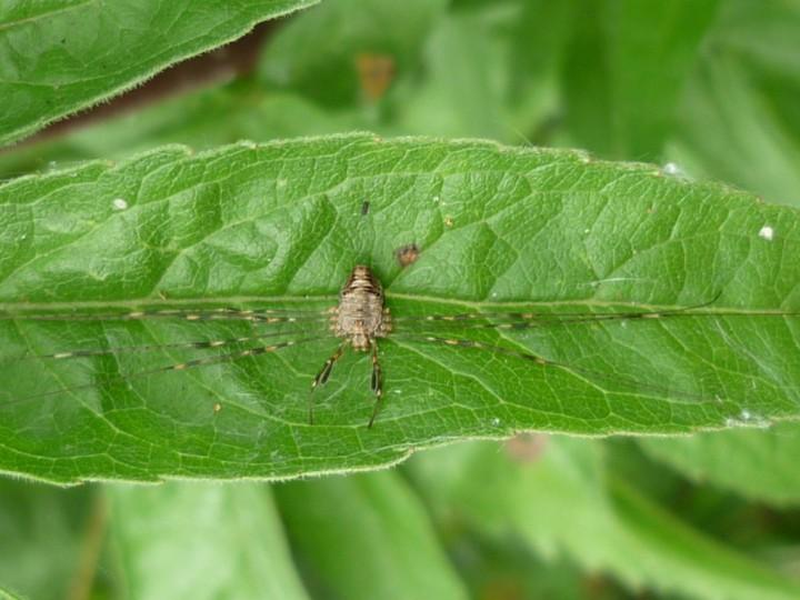 Dicranopalpus ramosus female 100911 Copyright: John Davison