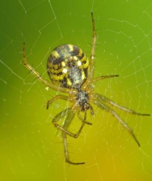 Yellow-striped spider 2 Copyright: Martin Cooper