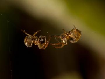 Theridiosoma gemmosum mating pair August 2011 Copyright: Evan Jones