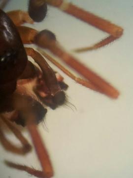 Microneta viaria male palpal comb Copyright: Matt Prince
