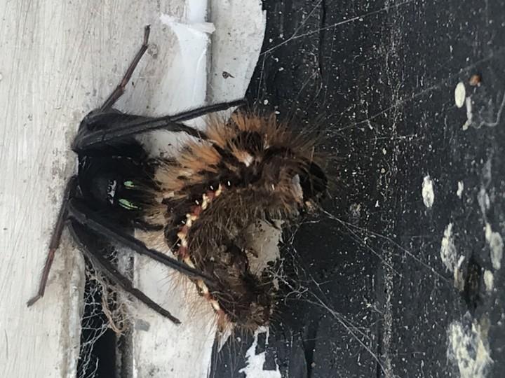 Spider and Caterpillar prey Copyright: Brendan Gage