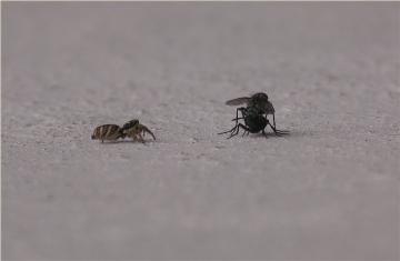 Salticus scenicus stalking mating Flies Copyright: Nik Nimbus