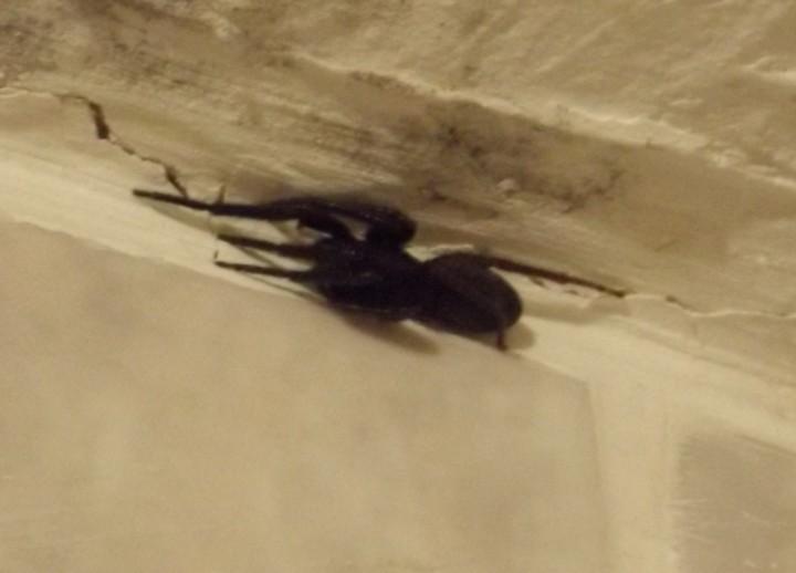 Segestria florentina spider Copyright: Molly Hatchet