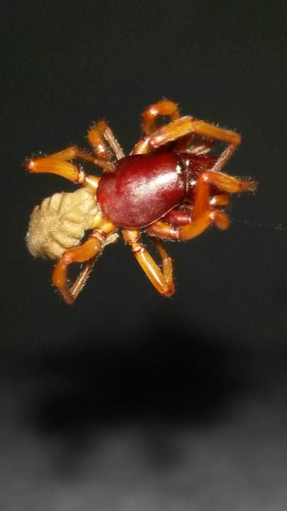 Dysdera crocata (Woodlouse Spider) Somerset Copyright: Samantha Thurston