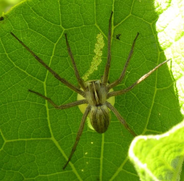 Nursery Web Spider Pisaura mirabilis SD14b Copyright: Sue Davies
