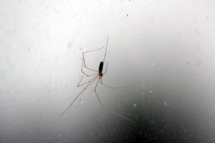 P. phalangioides exterior window Copyright: Stuart MacKenzie