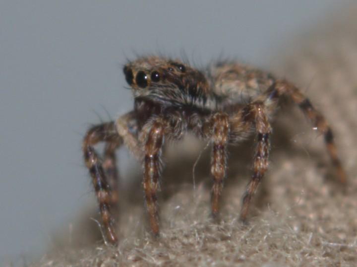 Pseudeuophrys lanigera 1 Copyright: Richard McMellon