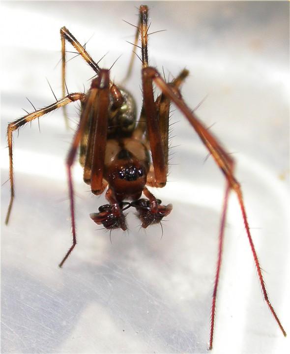 Labulla thoracica Male showing Pedipalps Copyright: Nik Nimbus