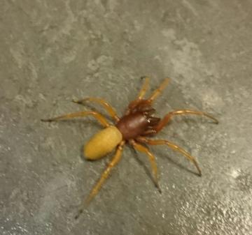 Woodlouse spider Copyright: Main Man