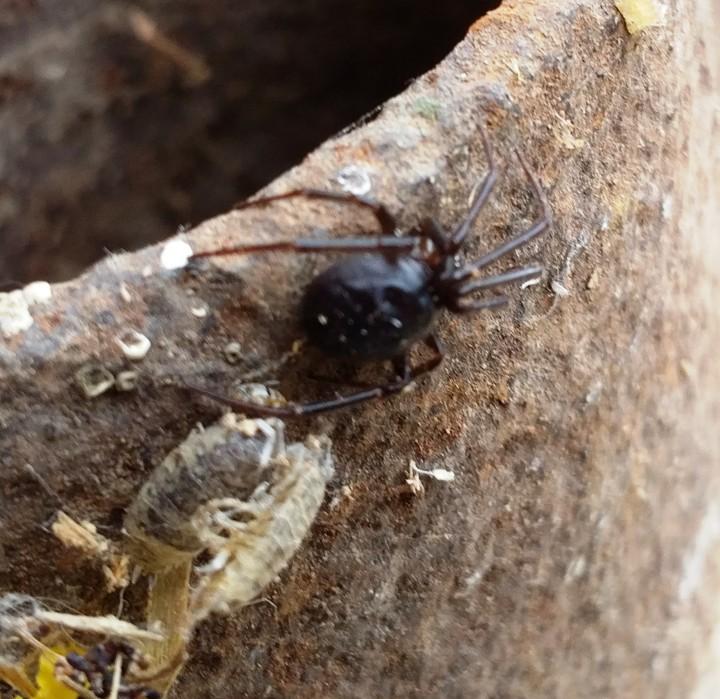Possible Steatoda grossa (Araneae) 08082016 Copyright: John Bryan