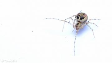 Platnickina tincta female Copyright: Tone Killick
