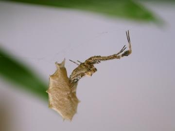 Uloborus plumipes with eggsac Copyright: G.S. Oxford