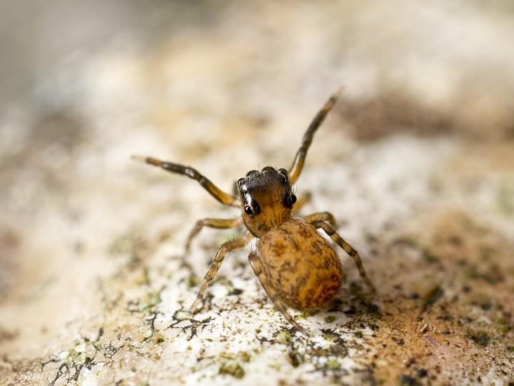 Ant-like behaviour in Neon pictus Copyright: Evan Jones
