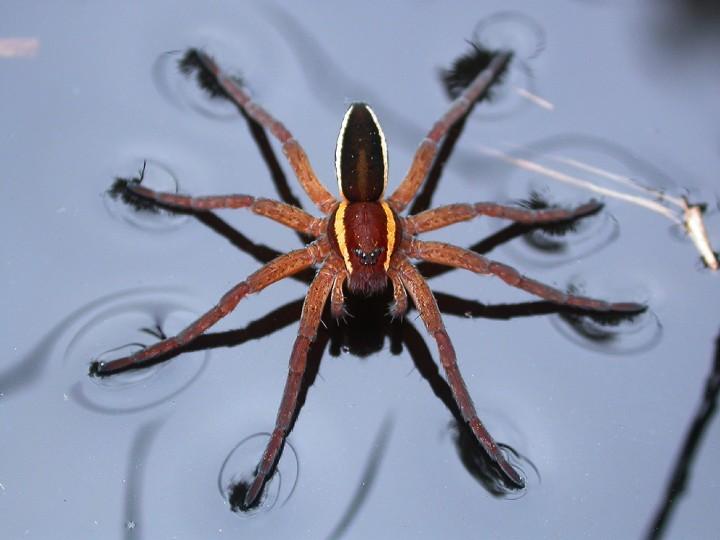 Dolomedes fimbriatus on water Copyright: Nik Nimbus