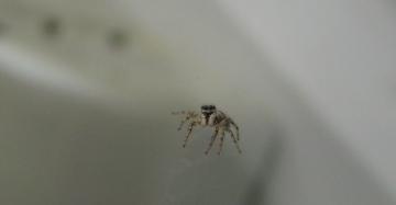 Zebra jumping spider. Copyright: Joy Ellingford