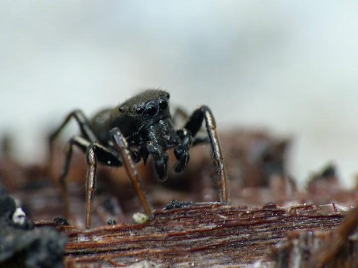 Male Heliophanus flavipes Copyright: Paul Cobb