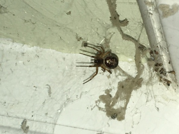 Az Kitchen Window Spider 2 Copyright: Az Smith
