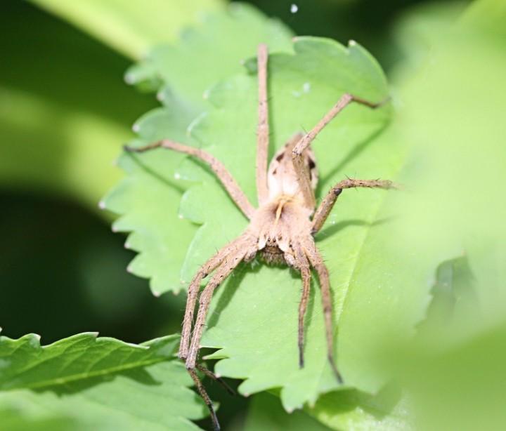 Pisaura mirabilis in garden Copyright: Carole Phillips