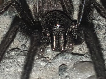 Black spider Face Copyright: Alan Pritchard