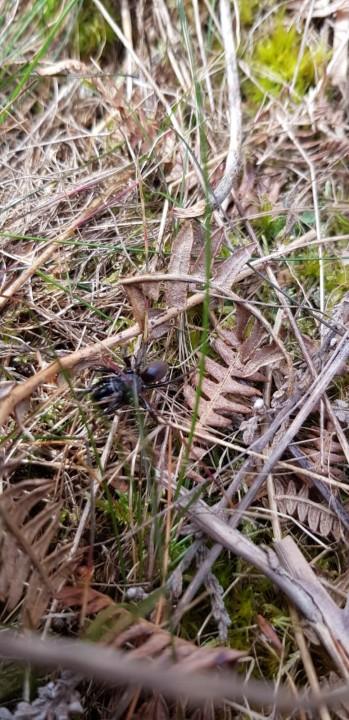 Atypus affinis on Kinver Edge Copyright: Katy Perry