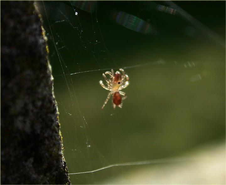 Atypus affinis Spiderling 2 Copyright: Nik Nimbus