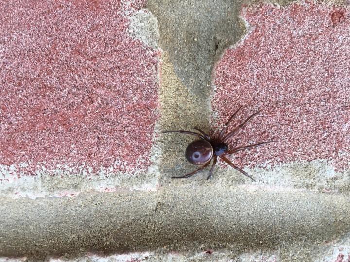 Spider on brick Copyright: Nick Osborne