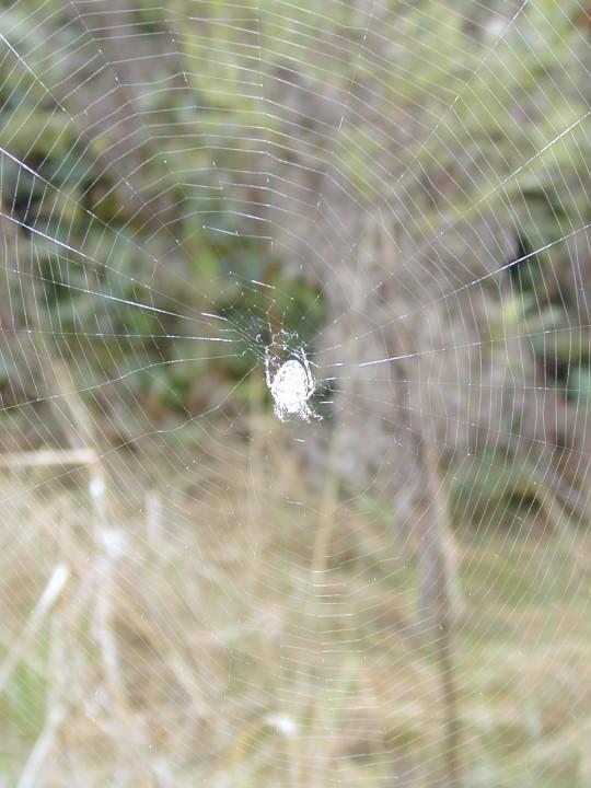 Araneus diadematus - web Copyright: Roland Ramsdale