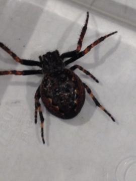 orb web spider Nuctenea umbratica Copyright: Peter Trueman