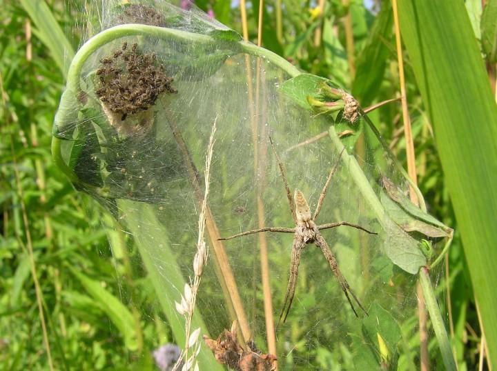 Pisaura mirabilis guarding nursery web Copyright: A. Rivett