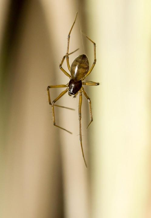 Bathyphantes gracilis female Copyright: Evan Jones