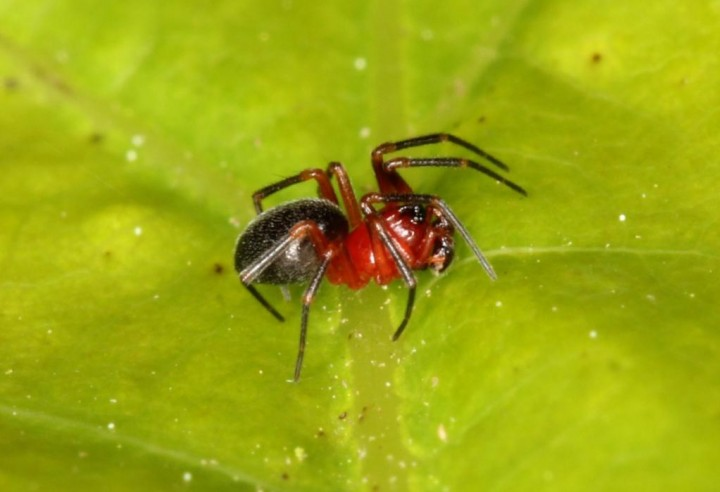 Trematocephalus cristatus male Copyright: Peter Harvey