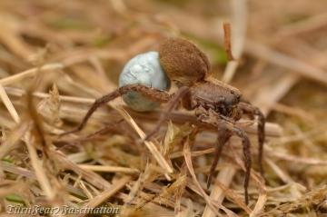 Alopecosa pulverulenta female with egg sac 1 Copyright: Tone Killick