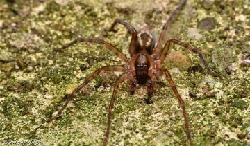 Amaurobius similis male Gloucester Copyright: Tone Killick
