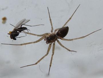 Lepthyphantes tenuis female Copyright: Robin Rigby