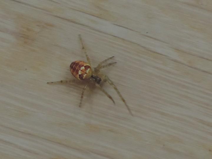 A second spider on Hellisay Copyright: Bill Neill